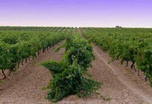 Viñedos uva verdejo